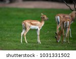 closeup juvenile antelope on...   Shutterstock . vector #1031331502