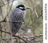Small photo of Yellow-crowned Night Heron Resting