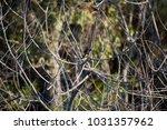 dainty chirpy  little ... | Shutterstock . vector #1031357962