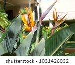 hawaiian flowers on kauai ...   Shutterstock . vector #1031426032
