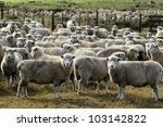 Flock Of Corriedale Sheep Breed ...