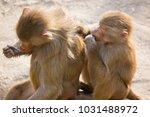two hamadryas baboon  papio... | Shutterstock . vector #1031488972