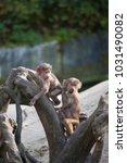 young hamadryas baboon  papio... | Shutterstock . vector #1031490082