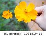 yellow flowers in outdoor... | Shutterstock . vector #1031519416