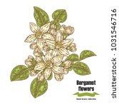 bergamot branch with flowers... | Shutterstock .eps vector #1031546716