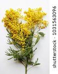 yellow mimosa on a white... | Shutterstock . vector #1031563096
