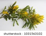 yellow mimosa on a white... | Shutterstock . vector #1031563102