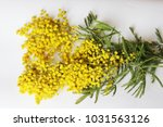 yellow mimosa on a white... | Shutterstock . vector #1031563126