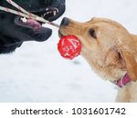 two labrador dog playing with... | Shutterstock . vector #1031601742