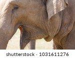 large herd of asian elephants ... | Shutterstock . vector #1031611276
