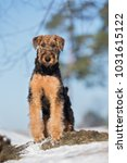 adorable airedale terrier puppy ... | Shutterstock . vector #1031615122