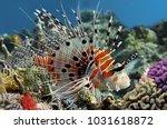 Spotfin Lionfish  Pterois...