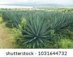 sisal agave trees | Shutterstock . vector #1031644732