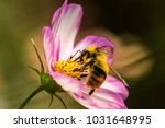 Pollinating Bumble Bees