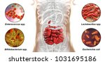 intestinal microbiome  bacteria ... | Shutterstock . vector #1031695186