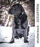 portrait of black labrador... | Shutterstock . vector #1031695906