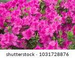 lush fresh azalea flowers on... | Shutterstock . vector #1031728876