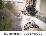 gorgeous dog  an english setter ... | Shutterstock . vector #1031740732
