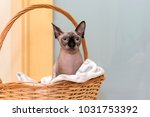 bald hairless cat of breed the... | Shutterstock . vector #1031753392