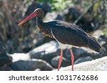 juvenile black stork ciconia...   Shutterstock . vector #1031762686