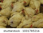 chicken poultry farm.white... | Shutterstock . vector #1031785216