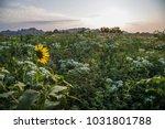 yellow sunflower facing the...   Shutterstock . vector #1031801788