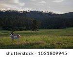 south dakota antelope badlands... | Shutterstock . vector #1031809945