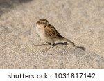 young juvenile sparrow...   Shutterstock . vector #1031817142