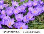 purple crocuses flowers.... | Shutterstock . vector #1031819608
