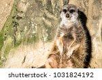 alert meerkat   suricata...   Shutterstock . vector #1031824192