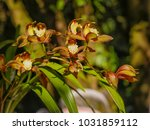 close up cymbidium orchids | Shutterstock . vector #1031859112