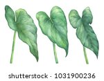 Leaves Of Pigtail Anthurium...