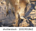 the wild boar  also known as... | Shutterstock . vector #1031901862