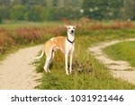 Whippet Dog Standing On A Lane