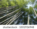 Outdoor View Of Tall Bamboo...