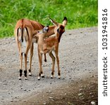 Small photo of Very sweet Impala doe snuggling with her baby on a road in Lake Nakuru, Kenya.