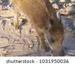 the wild boar  also known as... | Shutterstock . vector #1031950036