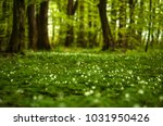 anemone nemorosa flower in the... | Shutterstock . vector #1031950426