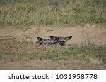 bat eared foxes | Shutterstock . vector #1031958778