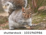 boston ma   a squirrel looking... | Shutterstock . vector #1031960986