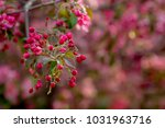 apple pink tree flowers | Shutterstock . vector #1031963716