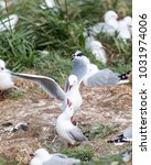 Small photo of Mating display of the Red-billed Gull (Larus novaehollandiae) in a colony on the Otago Peninsula, New Zealand. These gulls are an endangered species.