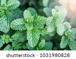 mint is a green leafy plant.... | Shutterstock . vector #1031980828