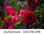 beautiful blooming red dahlias. ... | Shutterstock . vector #1031981398