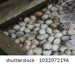 a lot of shells in the fish... | Shutterstock . vector #1032072196