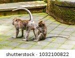 adult monkeys in monkey forest  ...   Shutterstock . vector #1032100822