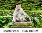 adult monkey in monkey forest ...   Shutterstock . vector #1032100825