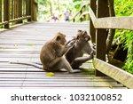 adult monkeys in monkey forest  ... | Shutterstock . vector #1032100852