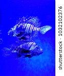 pterois zebrafish  firefish ... | Shutterstock . vector #1032102376