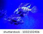 pterois zebrafish  firefish ... | Shutterstock . vector #1032102406